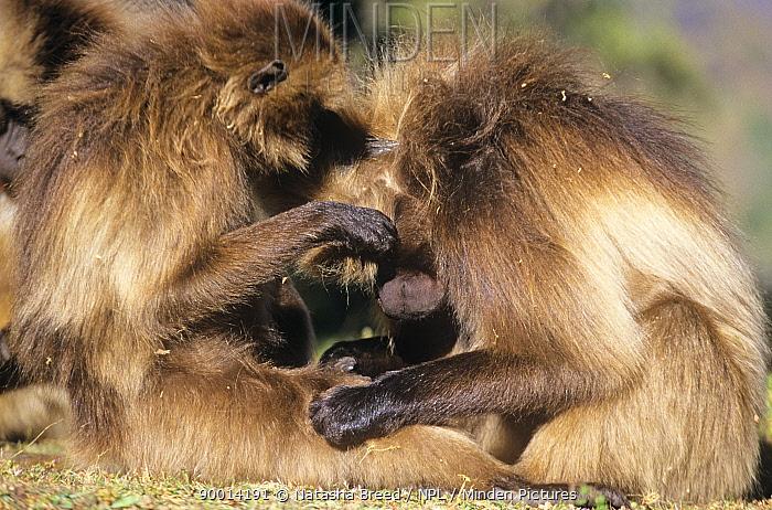 Gelada Baboon (Theropithecus gelada) grooming, Ethiopia  -  Natasha Breed/ npl