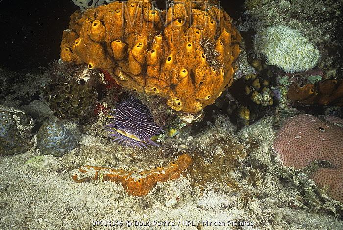 Splendid toadfish (Sanopus splendidus) Mexico  -  Doug Perrine/ npl