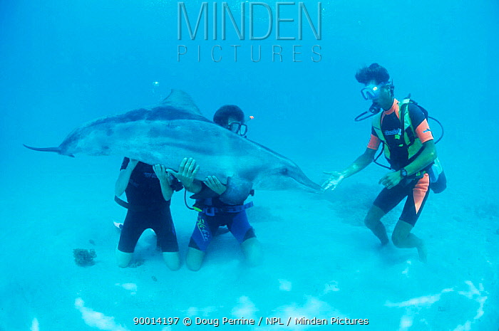 Rough-toothed Dolphin (Steno bredanensis) and divers playing Polynesia  -  Doug Perrine/ npl