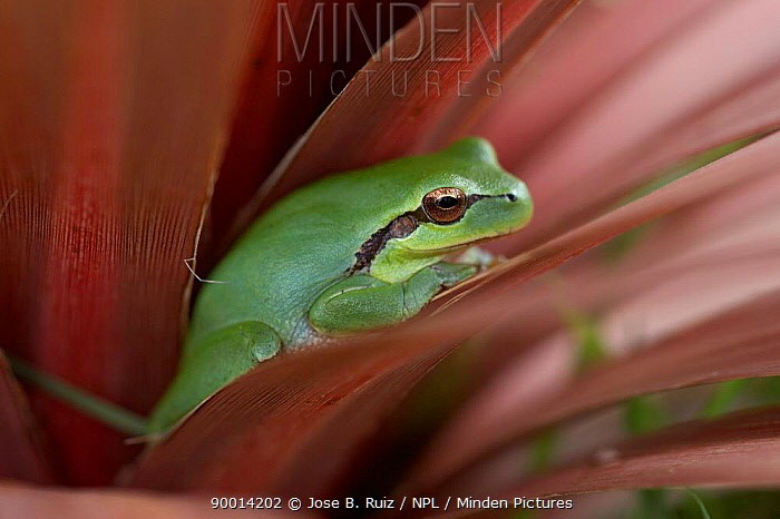 Mediterranean tree frog (Hyla meridionalis) Spain  -  Jose B. Ruiz/ npl