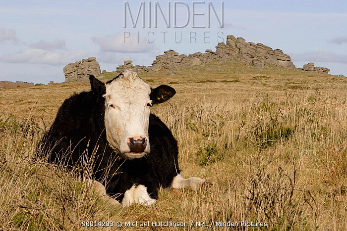 Cow (Bos taurus) lying in grass with Hound Tor granite outcrops (landmark and tourist attraction) in background Dartmoor National Park, Devon, UK  -  Michael Hutchinson/ npl
