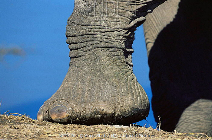 African Elephant (Loxodonta africana) foot Serengeti National Park, Tanzania  -  Anup Shah/ npl