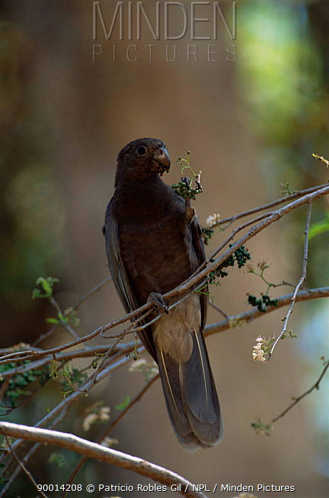Lesser Vasa Parrot (Coracopsis nigra) holding berries in claw Madagascar  -  Patricio Robles Gil/ npl