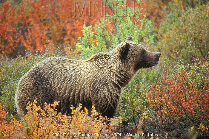 Grizzly Bear (Ursus arctos horribilis) on the tundra, Denali National Park, Alaska  -  Philippe Clement/ npl