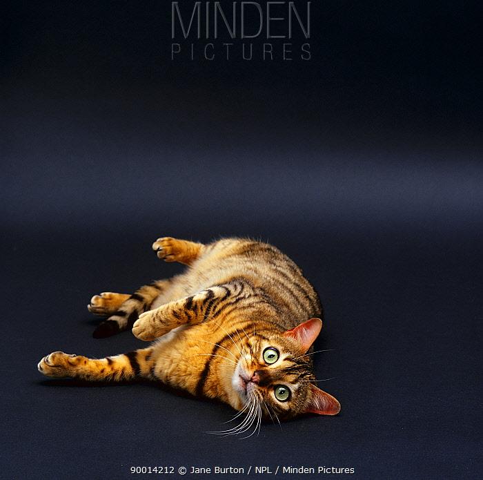 Domestic Cat (Felis catus) female Brown spotted bengal 'Rasha' lying on floor  -  Jane Burton/ npl