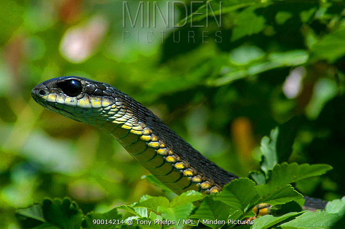 Boomslang snake (Dispholidus ypus) male in bush, Western Cape, South Africa  -  Tony Phelps/ npl