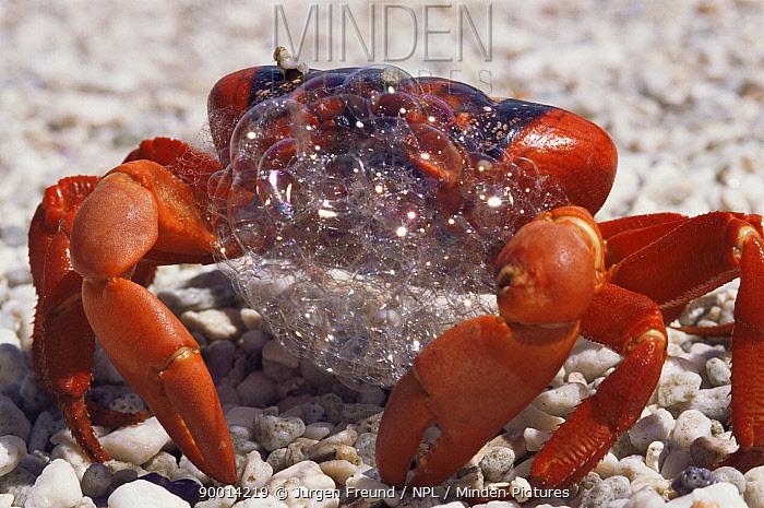 Christmas Island Red Crab (Gecarcoidea natalis) bubbling, indicative of stress, Christmas Is, Indian Ocean  -  Jurgen Freund/ npl