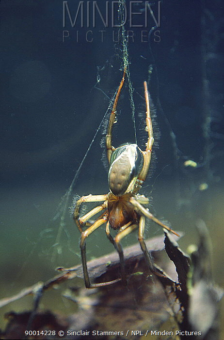 Water Spider (Argyroneta aquatica) on web  -  Sinclair Stammers/ npl