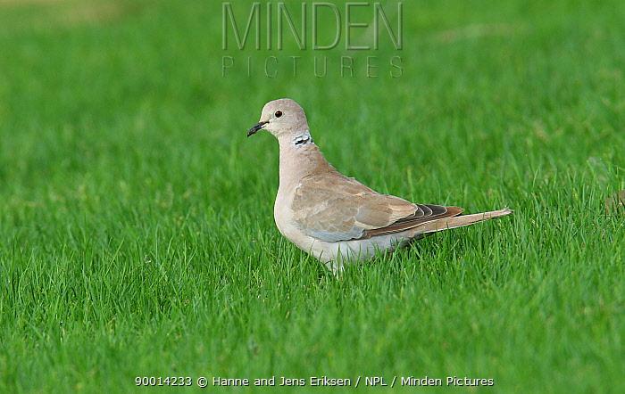 Eurasian Collared-Dove (Streptopelia decaocto) on lawn, Abu Dhabi, UAE  -  Hanne & Jens Eriksen/ npl