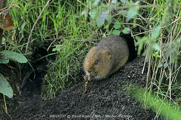 Water Vole (Arvicola terrestris) at entrance to burrow, eating a root, Wiltshire, England  -  David Kjaer/ npl
