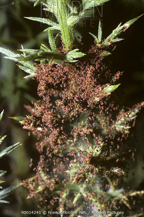 Furze mites (Epitetranychus lintearius) in their large web on a Gorse bush, UK  -  Premaphotos/ npl