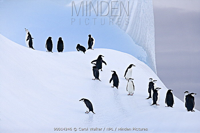Chinstrap Penguin (Pygoscelis antarctica) group on ice, South Orkney Islands  -  Carol Walker/ npl