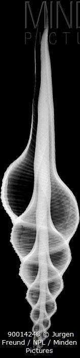 X-Ray of Sea Snail Shell showing internal spiral  -  Jurgen Freund/ npl