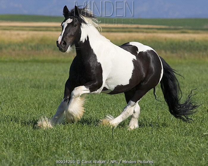 Gypsy Cobb stallion running in field, Longmont, Colorado, USA  -  Carol Walker/ npl