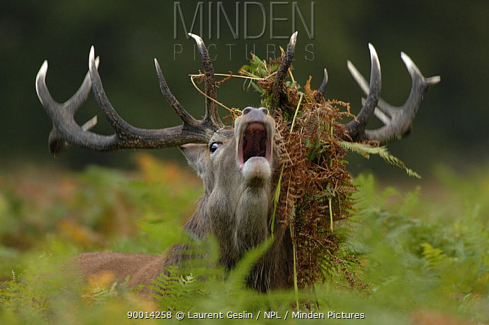 Red deer (Cervus elaphus) stag bellowing, with bracken in his antlers Richmond Park, London, England  -  Laurent Geslin/ npl