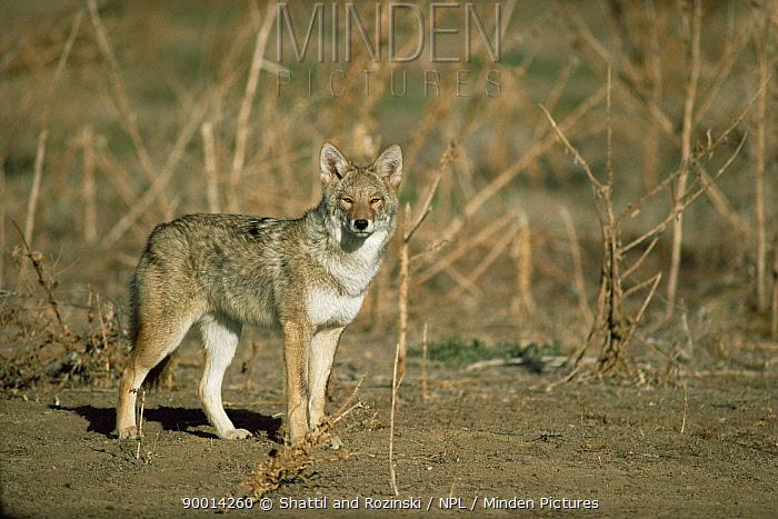 Coyote (Canis latrans) on prairie, Colorado  -  Shattil & Rozinski/ npl