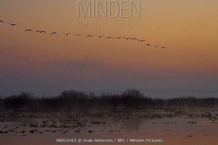 Common Crane (Grus grus) flying in formation at sunrise, Hornborgasj�n Lake, Sweden  -  Inaki Relanzon/ npl