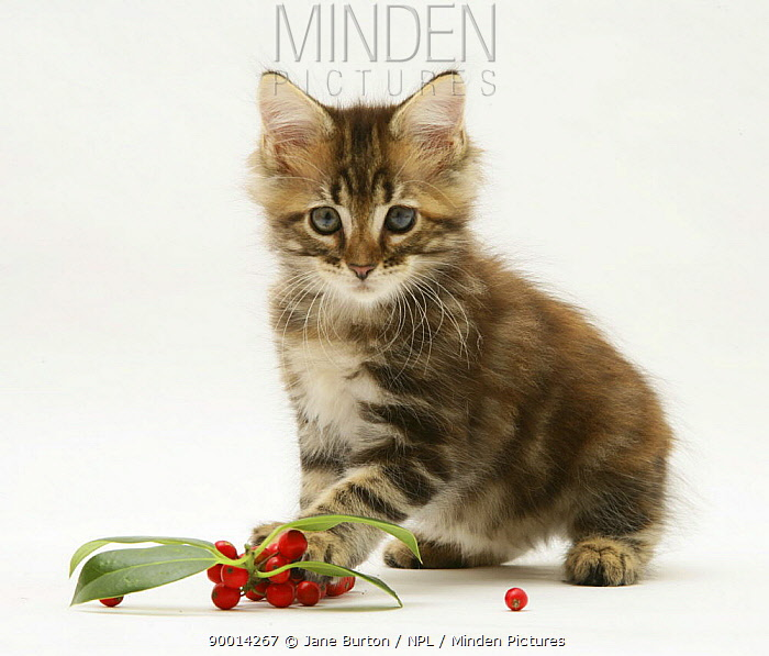 Domestic Cat (Felis catus)Tabby Maine Coon kitten with chrisstmas holly leaves and berries  -  Jane Burton/ npl
