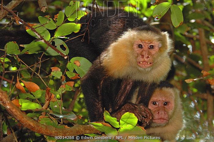 White-faced Capuchin (Cebus capucinus) pair, Mono cariblanca, Costa Rica  -  Edwin Giesbers/ npl