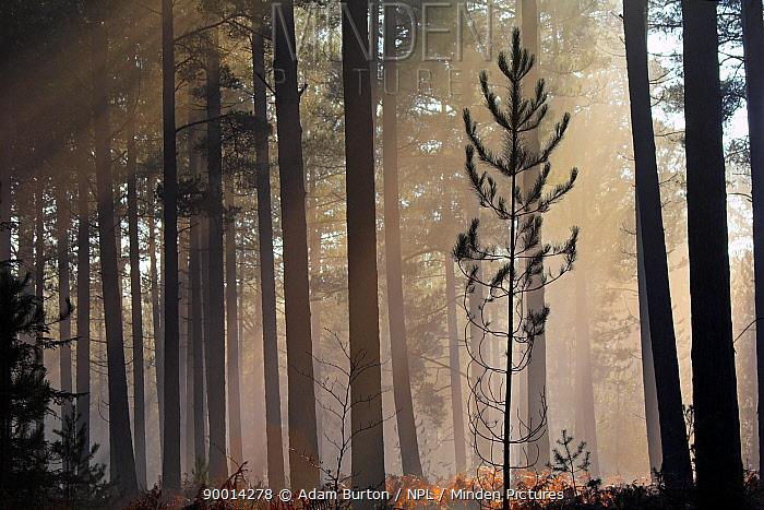 Pine sapling in a misty pine forest, New Forest, Hampshire, England  -  Adam Burton/ npl