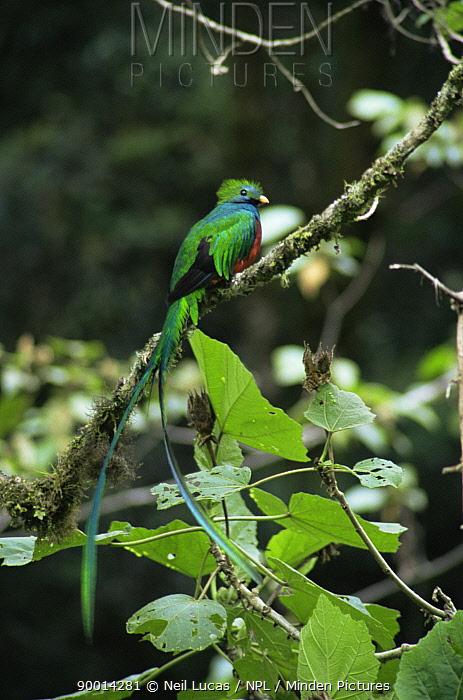 Resplendent Quetzal (Pharomachrus mocinno) Fincha Chacon, Costa Rica  -  Neil Lucas/ npl