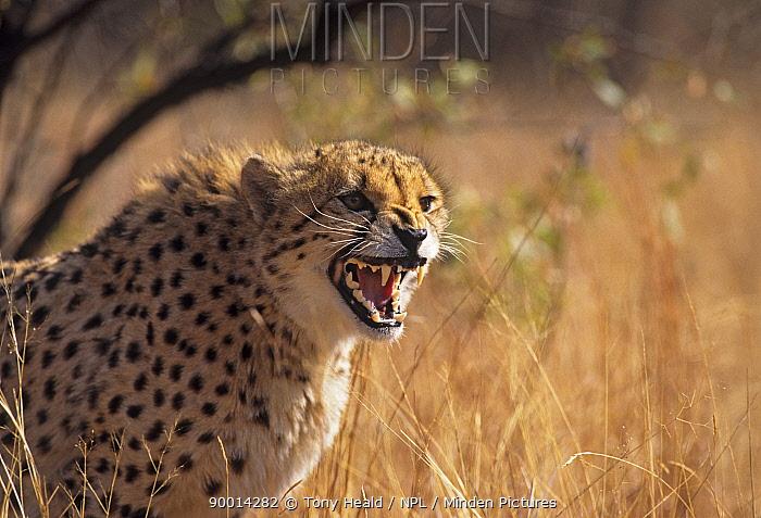 Cheetah (Acinonyx jubatus) snarling South Africa DeWildt Cheetah Research Centre  -  Tony Heald/ npl