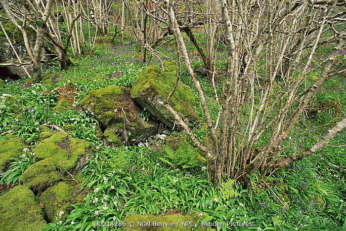 Hazel wood with spring flowers Kildonan Bay, Isle of Eigg, Scotland, UK  -  Niall Benvie/ npl
