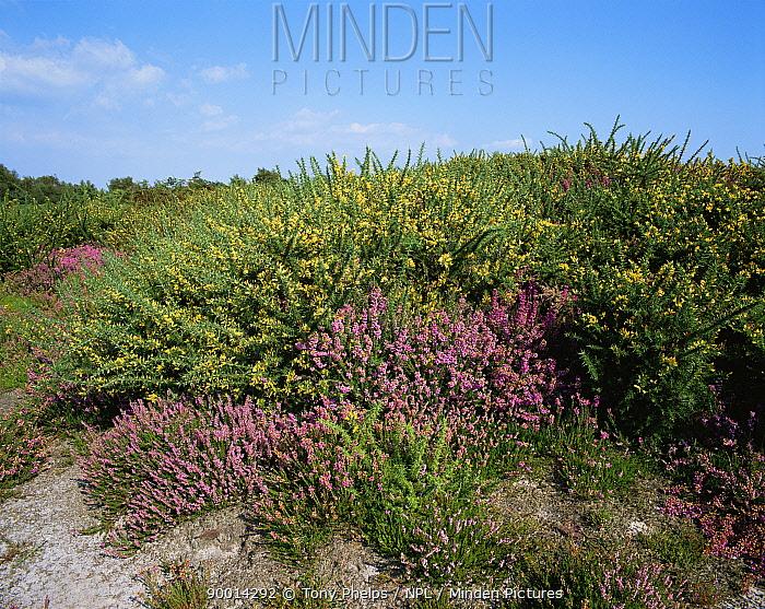 Heathland with Gorse and Heather flowering Purbeck, Dorset, UK  -  Tony Phelps/ npl