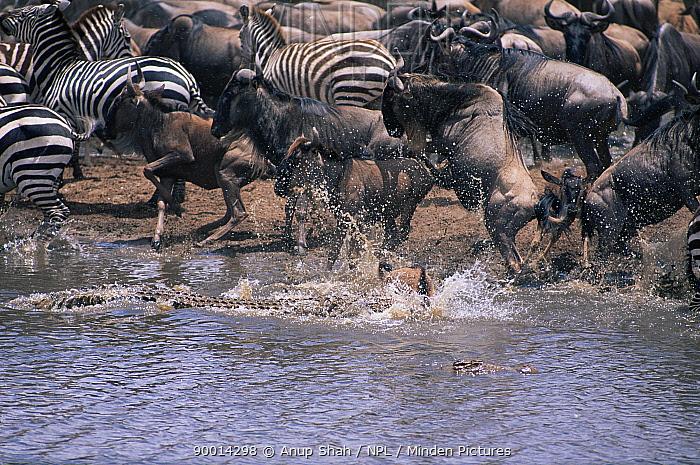 Nile Crocodile (Crocodylus niloticus) attacking Wildebeest calf, Sequence 4, 4 Mara River, Masai Mara, Kenya  -  Anup Shah/ npl