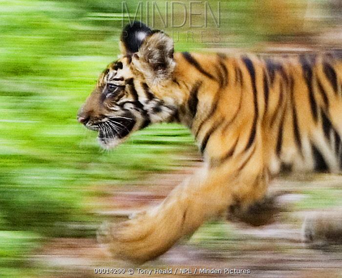 Bengal Tiger (Panthera tigris tigris) cub running Four-month-old, Bandhavgarh National Park, India  -  Tony Heald/ npl