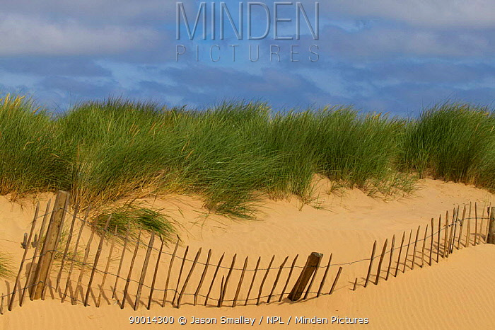 European Beachgrass (Ammophila arenaria) and broken wooden picket fence swamped by encroaching sand dune Formby, Merseyside, United Kingdom  -  Jason Smalley/ npl