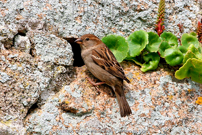 House Sparrow (Passer domesticus) female at nest hole in stone wall, St Martins, Isles of Scilly, United Kingdom  -  Mike Wilkes/ npl