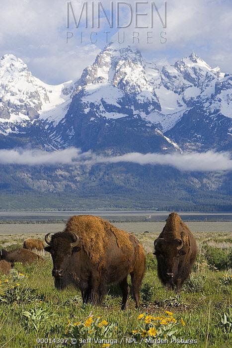 American Bison (Bison bison) in Grand Teton National Park in spring Wyoming  -  Jeff Vanuga/ npl