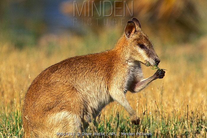Agile Wallaby (Macropus agilis) feeding in grassland, Northern Territory, Australia  -  Dave Watts/ npl