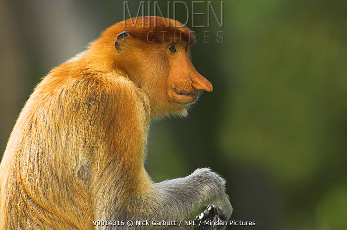 Proboscis Monkey (Nasalis larvatus) female, Bako National Park, Sarawak, Borneo, Malaysia  -  Nick Garbutt/ npl