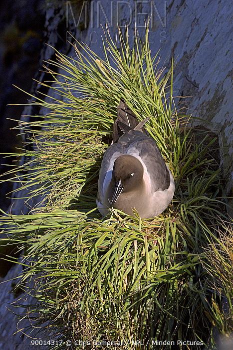 Light-mantled Albatross (Phoebetria palpebrata) on nest Prion Islet, South Georgia, Antarctica  -  Chris Gomersall/ npl