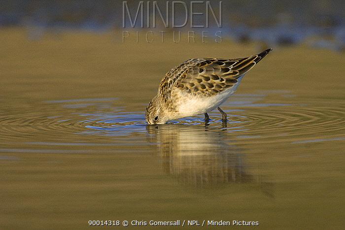 Little Stint (Calidris minuta) autumn juvenile feeding in water Norfolk, England  -  Chris Gomersall/ npl