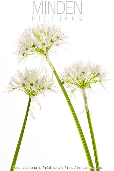 Wild Garlic (Allium ursinum) in flower,, Angus, Scotland United Kingdom  -  Niall Benvie/ npl