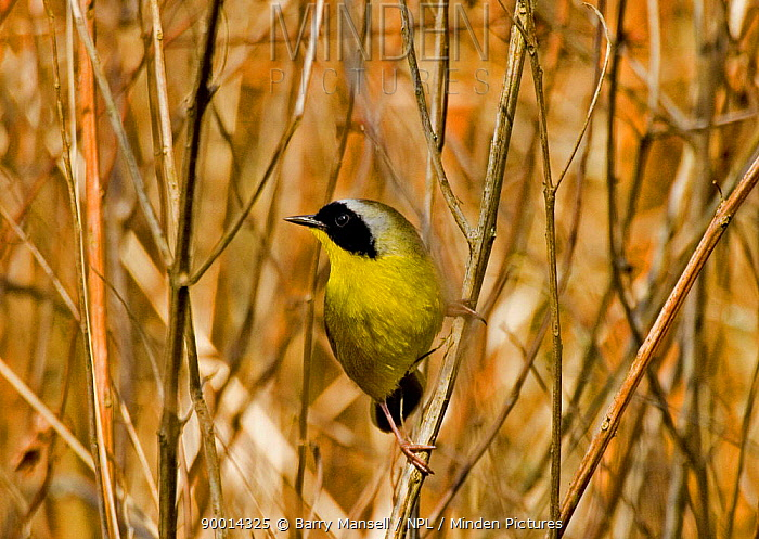 Common Yellowthroat (Geothlypis trichas) male perched amongst twigs, Florida  -  Barry Mansell/ npl