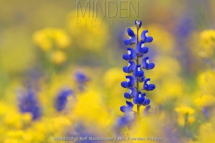 Texas Bluebonnet (Lupinus texensis) in field of wildflowers, Gonzales County, Texas, USA, March  -  Rolf Nussbaumer/ npl