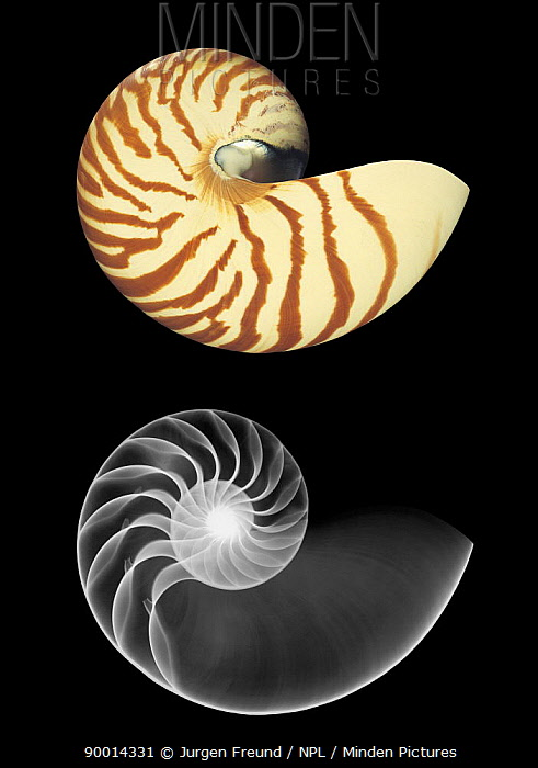 Chambered Nautilus (Nautilus pompilius) shell photograph and x-ray  -  Jurgen Freund/ npl