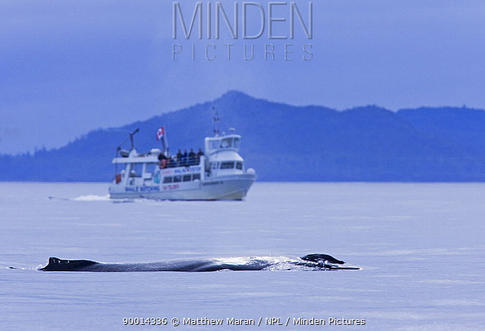 Humpback Whale (Megaptera novaeangliae) and whale watching boat in Clayoquot Sound, Vancouver Island, Canada  -  Matthew Maran/ npl