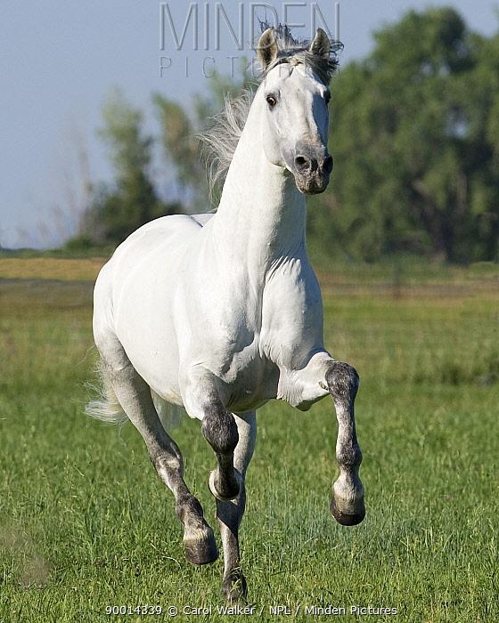 Grey Andalusian stallion running in field, Longmont, Colorado, USA  -  Carol Walker/ npl
