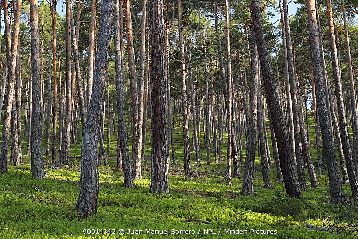 Scotch Pine (Pinus sylvestris) in Alt Pirineu Natural Park The Pyrenees mountain, Catalonia, Lerida, Spain  -  Juan Manuel Borrero/ npl