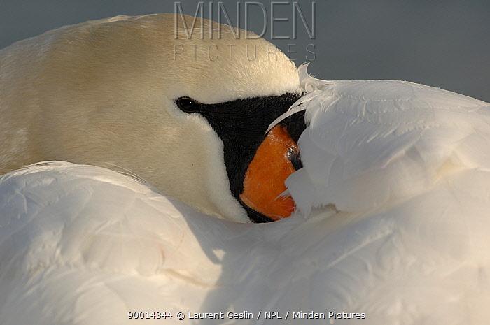 Mute Swan (Cygnus olor) resting, beak tucked under wing, Walthamstow reservoir, London, United Kingdom  -  Laurent Geslin/ npl