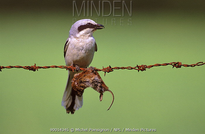 Great Grey Shrike (Lanius excubitor) with mouse prey impaled on barbed wire, Lorraine, France  -  Michel Poinsignon/ npl