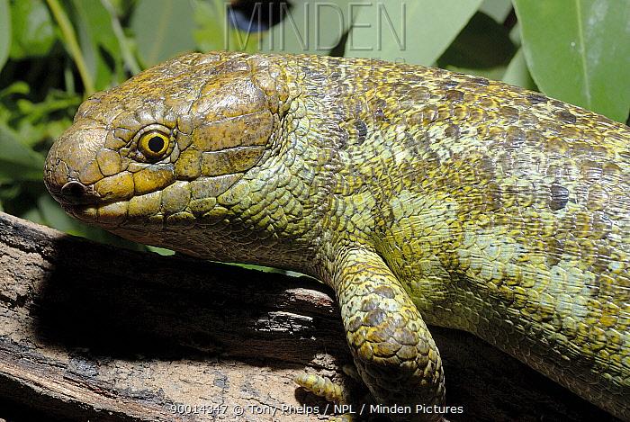 Solomon Island Skink (Corucia zebrata) Captive, native to Solomon Islands  -  Tony Phelps/ npl