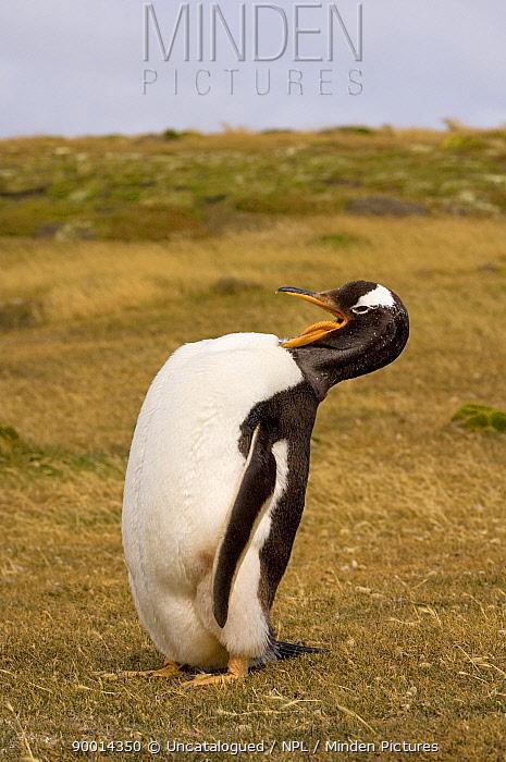 Gentoo Penguin (Pygoscelis papua) grooming itself Beaver Island, Falkland Islands, South Atlantic Ocean  -  Steven Kazlowski/ npl