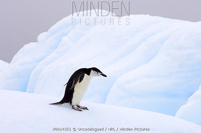 Chinstrap Penguin (Pygoscelis antarctica) walking on a glacial ice off the western Antarctic Peninsula, Southern Ocean  -  Steven Kazlowski/ npl
