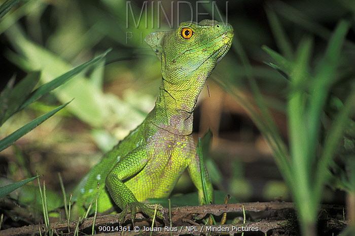 Green Basilisk (Basiliscus plumifrons) female, Tortuguero National Park, Costa Rica  -  Jouan & Rius/ npl